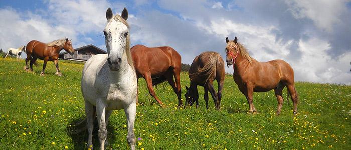 Vente de poneys et chevaux à Saint-Sorlin-de-Morestel